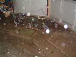 雨宿りしているハト